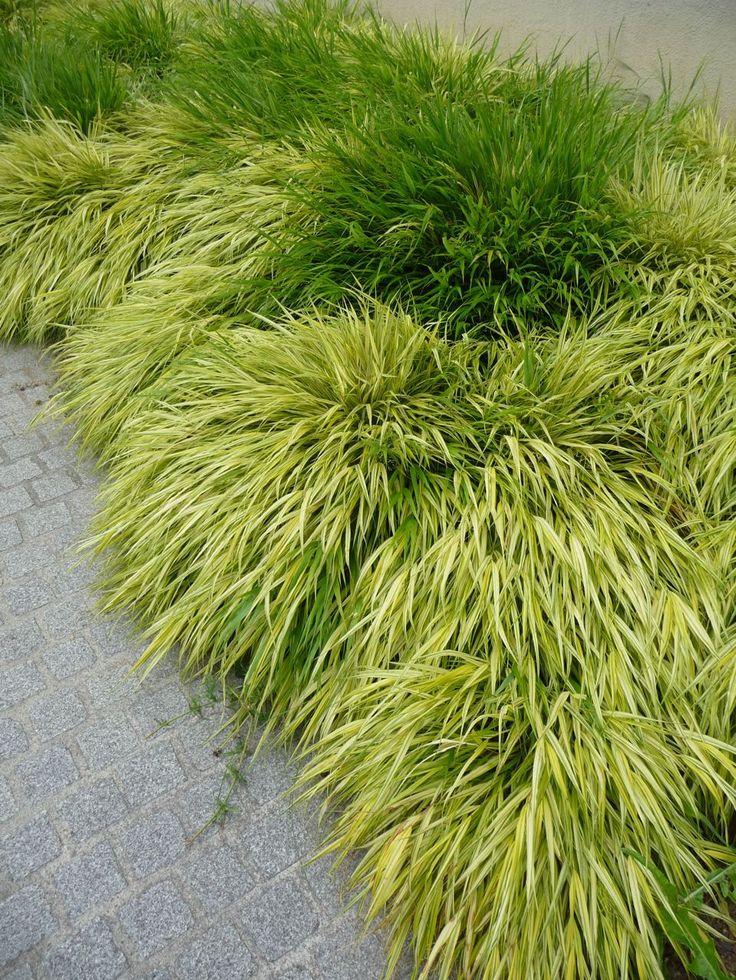 Herbe du Japon (Hakonechloa macra et H. macra 'Aureola'), Université Paris Diderot Paris 7 (Paris 13e), juillet 2010, photo Alain Delavie