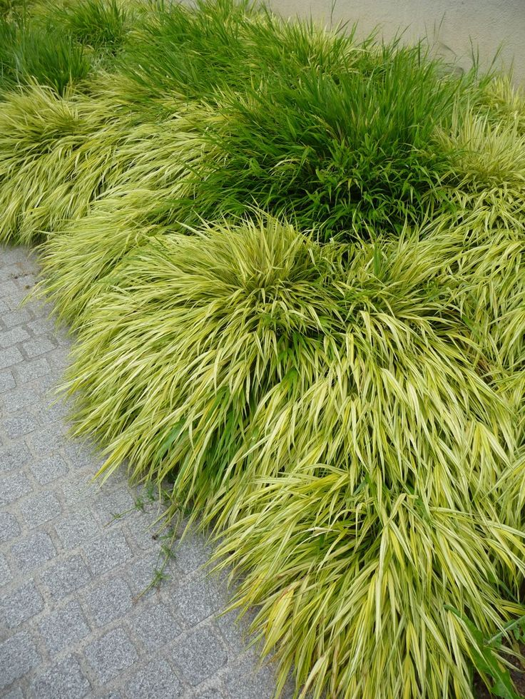 Herbe du Japon (Hakonechloa macra et H. macra 'Aureola'), Université Paris Diderot Paris 7 (Paris 13e), juillet 2010, photo Alain Delavie