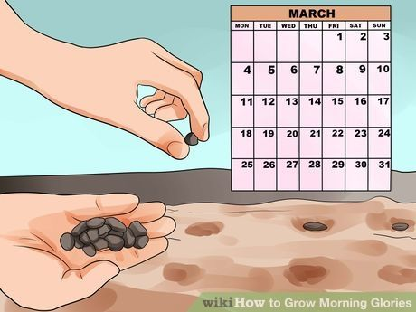 How to Grow Morning Glories (with Pictures) - wikiHow