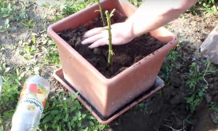 Er steckt eine Rose in eine Kartoffel und pflanzt sie ein. Was hier 1 Woche später aus dem Boden kommt, ist einmalig.