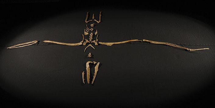 Pelagornis chilensis. Bahía Inglesa. Museo Nacional de Historia Natural.