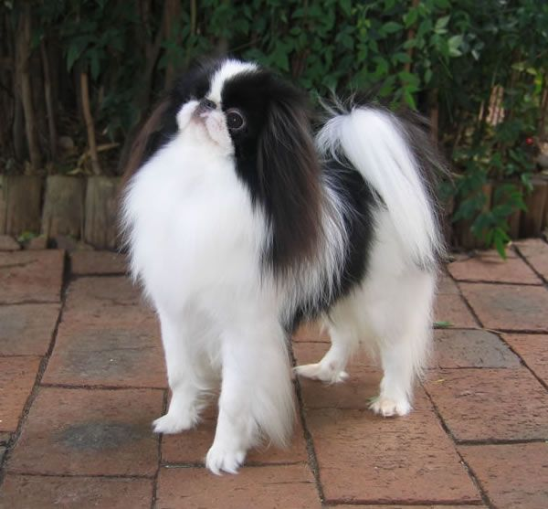 Japanese Chin... love these little guys!