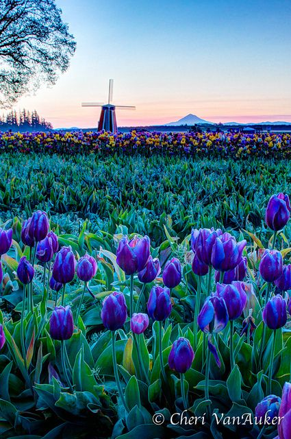 Wooden Shoe Tulip Festival, Woodburn, Oregon, USA