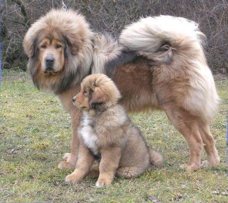 Tibetan Mastiff - Simba and pabu - Molosser Dogs Gallery