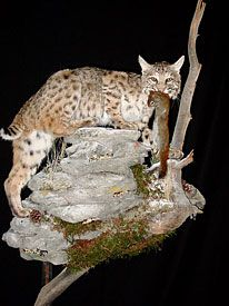 Bobcat Mount