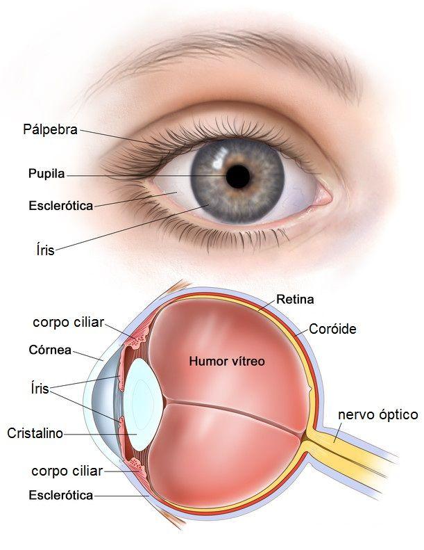 olho humano anatomia visão