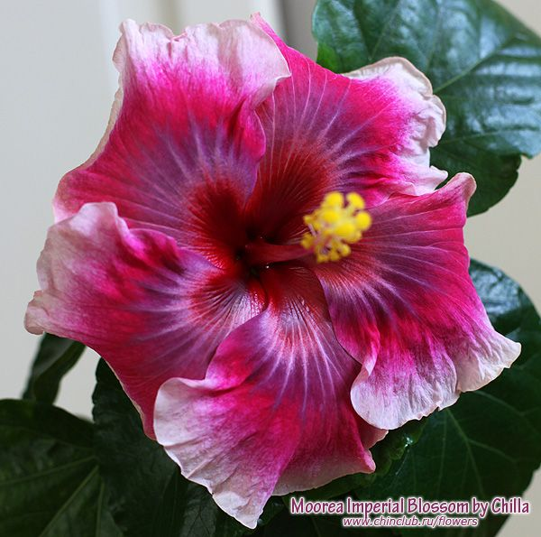 1396 Best Hibiscus Lover Images On Pinterest