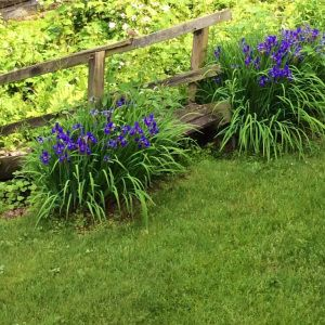 10 Reasons You Should Plant Siberian Iris! #landscaping #droughttolerant #amazingplants