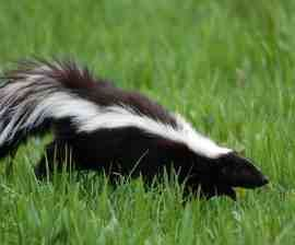 What to Do About Skunks : The Humane Society of the United States