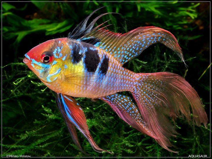 Microgeophagus ramirezi - Longfin variety. Beautiful freshwater fish from the Orinoco system in Venezuela.