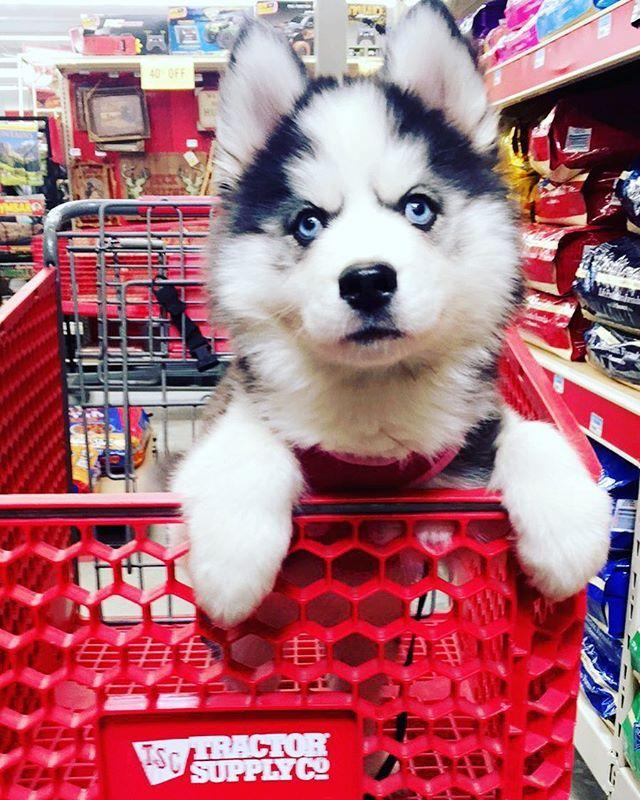 Husky puppy!!!