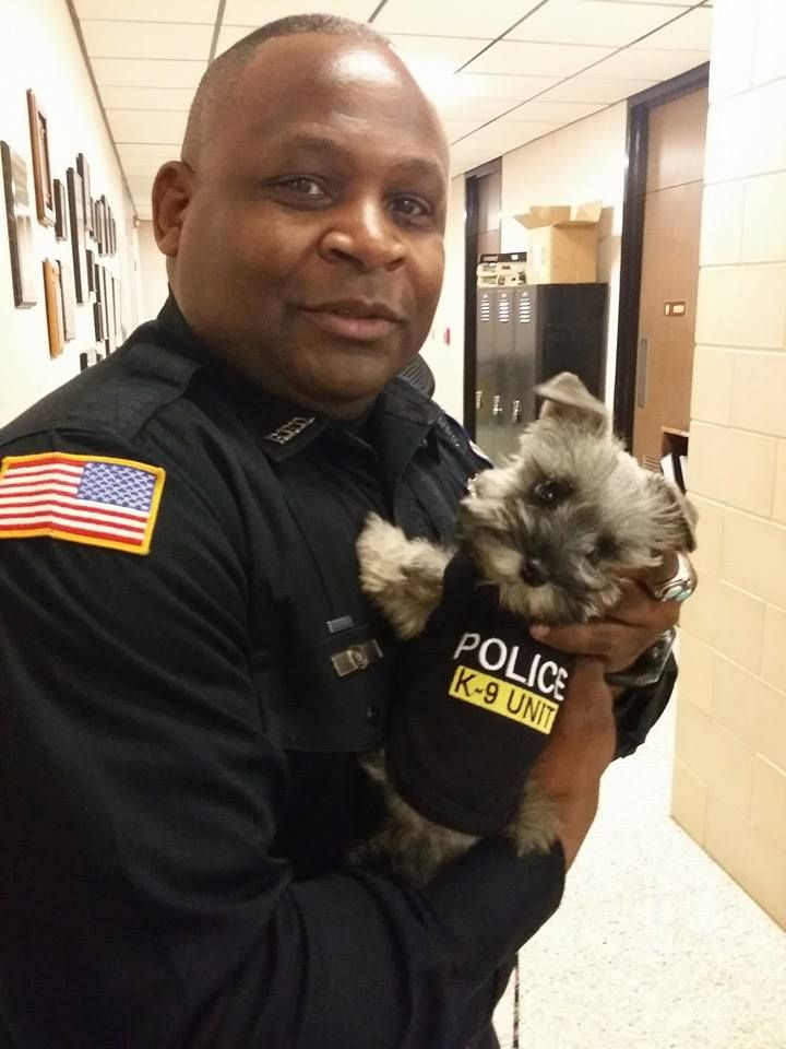 Officer Stevens with Paradise Valley Schnauzer, Amy. Teacup Schnauzer 1lb 14 oz in this photo. 12 weeks old.