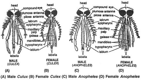aedes head - Google Search