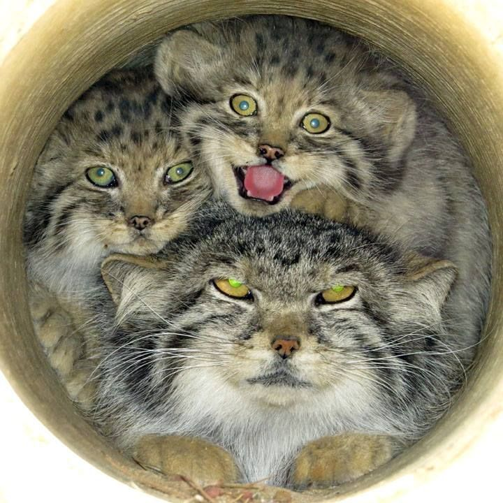 Pallas's Cat Kittens With Mom The kittens at... Pallas's cat