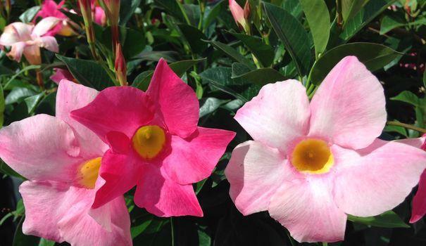 Le dipladenia, ou mandevilla, est un végétal originaire d'Amérique du Sud. Nain ou grimpant, cette plante porte de belles feuilles vert franc et brillantes. Les fleurs simples, ouvertes et très abondantes apparaissent sur ses tiges. On trouve des dipladenias blancs, roses, rouges ou jaunes à marier entre eux ou avec d'autres plantes du soleil. Ce végétal résiste bien à la sécheresse et à la chaleur de l'été, ce qui en fait une plante à découvrir pour fleurir des jardinières ou des...