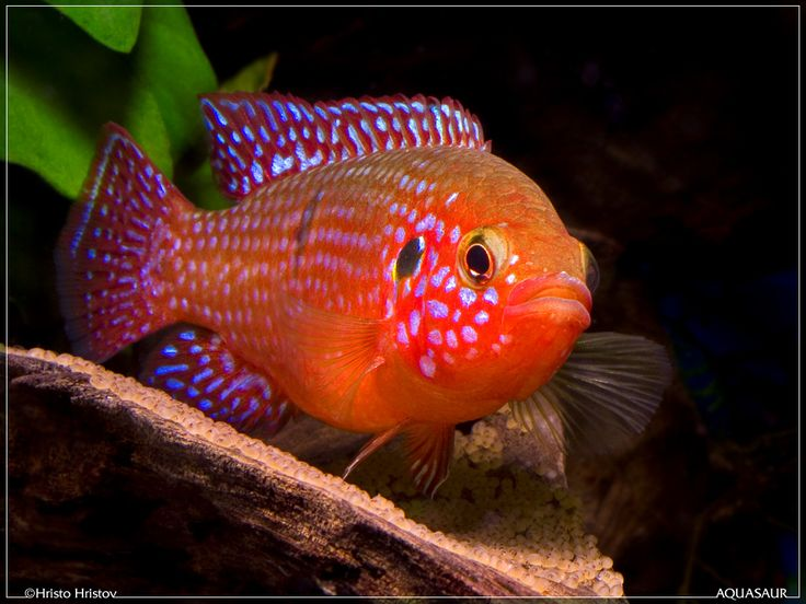 red jewel cichlid...I miss my fishies! Can't wait for the next house so I can get them back!!