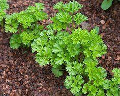 Petersilie | Standort Pflege Anbau pflanzen säen ernten