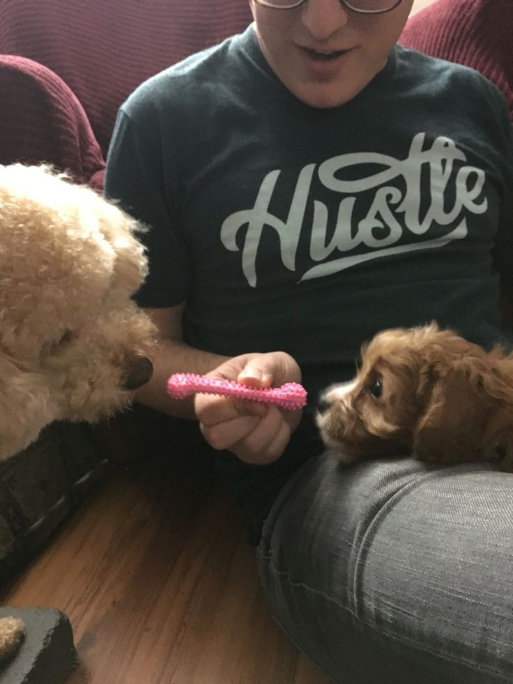 Toaster meet Strudel #cavapoopuppies #toastergirl