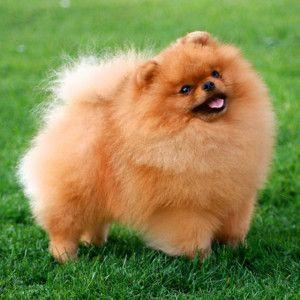 Померанский шпиц - одна из самых маленьких пород собак на земле.