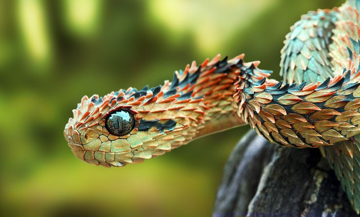 African bush viper (Atheris chlorechis) is a venomous viper species found only…