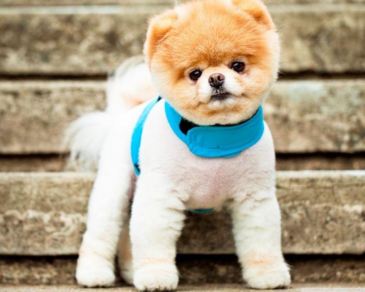 Wonderful Boo Chubby Adorable Dog - 666db9be23d92cf6cd2588647f96ca45--boo-dog-dog-wallpaper  2018_3387  .jpg