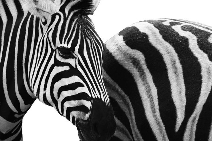 Zebra Crossing by Clare FitzGerald (FitzGerald Photographic), wildlife photography
