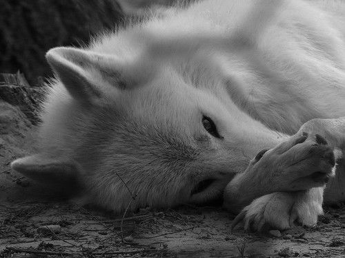 The animals voices are silent....But their cries can be heard if you care enough to listen...(save the wolves) ♥