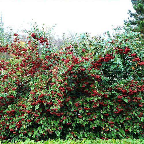 arbuste feuillage persistant avec fleurs blanches baies rouge vif