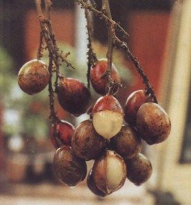 Matoa Fruit