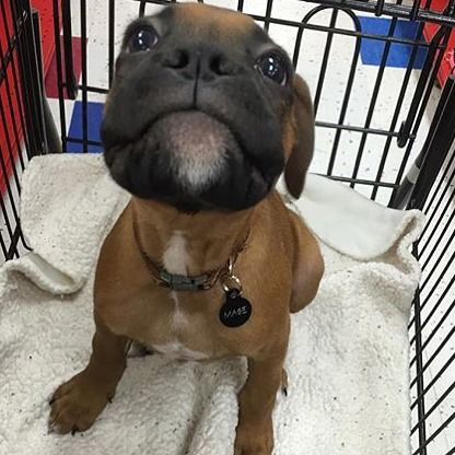 Boxer Dog    Awwww just look at little Mase @maseinla #boxerlovedaily…
