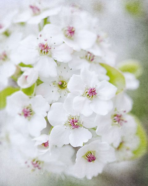 White Flower Picture  Cherry Blossom by LisaRussoPhotography @ etsy.com