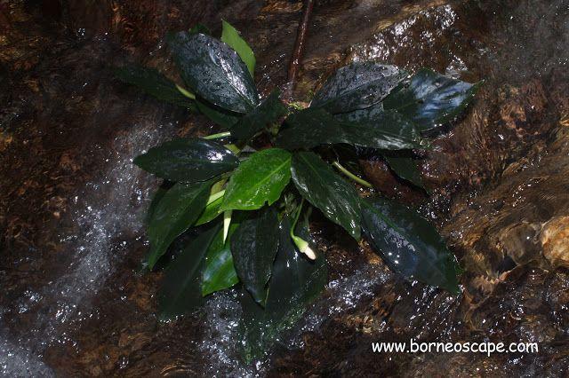 Aridarum surukense | BorneoScape