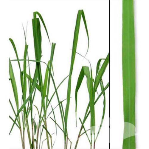 Citronella Etherische olie 10 ml (Cymbopogon Nardus) Citronella olie werkt stimulerend en is opbeurend bij lusteloosheid en depressie.