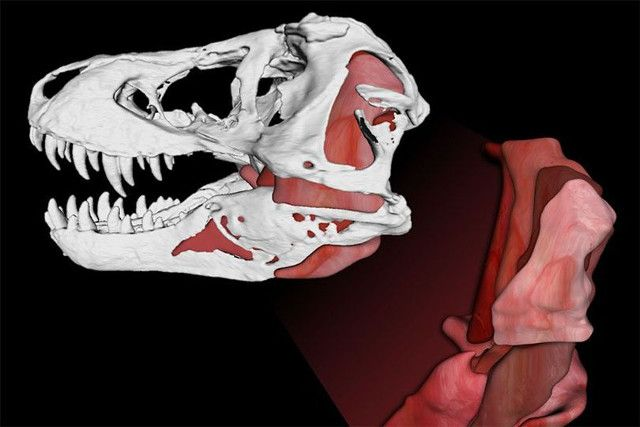 "An article published in the journal ""Scientific Reports"" describes a research on the bite force of Tyrannosaurus rex. Researchers Gregory Erickson and Paul Gignac created computer models based not only on fossils but also on the study of dinosaurs' living relatives, crocodiles and birds, to estimate T.rex's bite characteristics concluding that it could crush its prey's bones. Read the details in the article!"