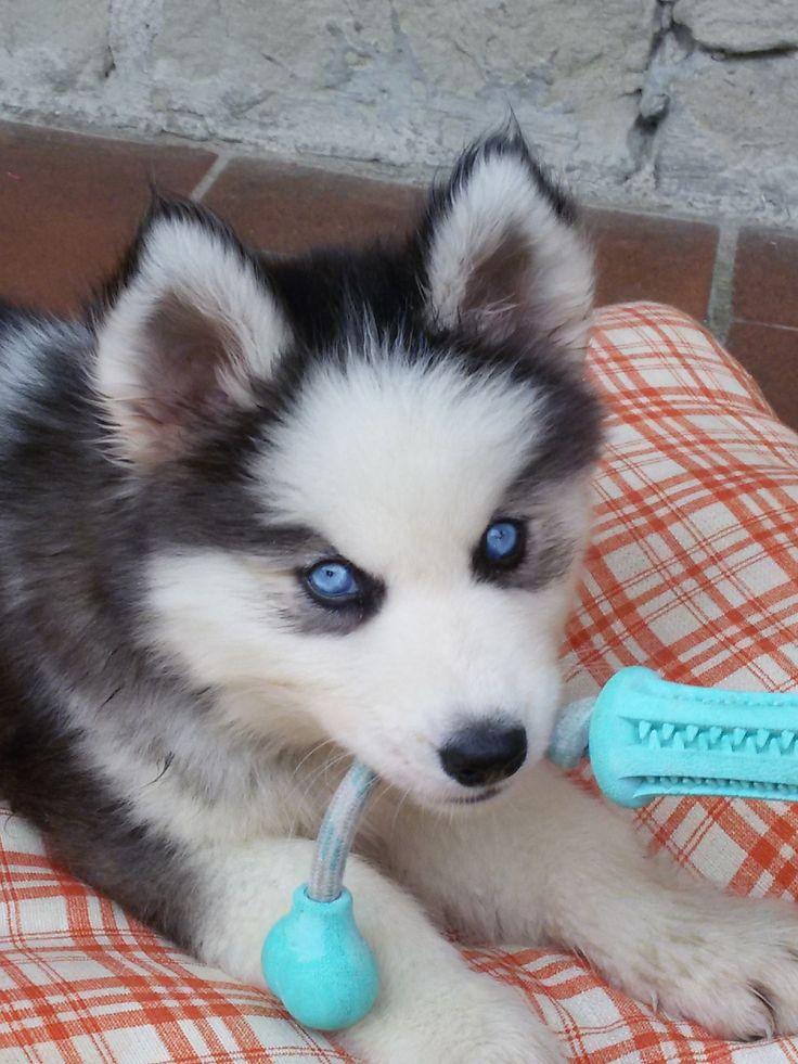 Oltre 1000 idee su occhi azzurri su pinterest capelli lunghi capelli e bionde - Husky occhi diversi ...