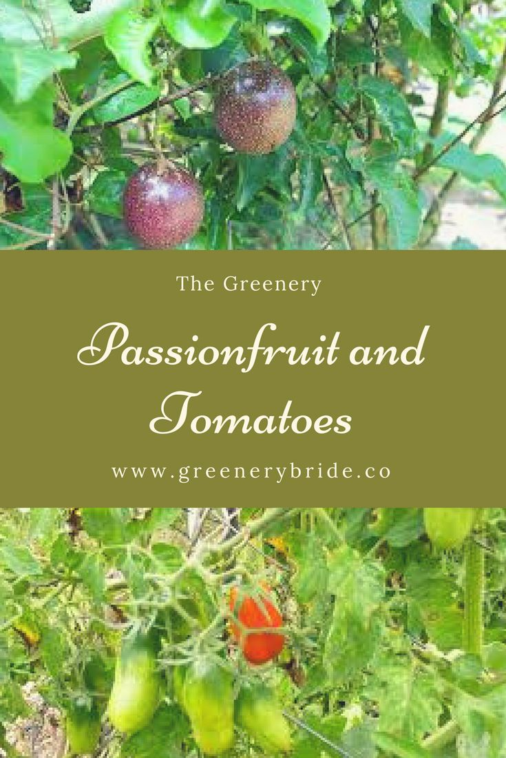 """Passionfruit and Cherry  Tomatoes  There is nothing more  rewarding than gathering your own produce from your backyard.    Towards the end of 2016,  I bought 3 passionfruit vines from Bunnings. They're the standard """"Nelly  Kelly"""" range, and I planted them along the back fence a few metres apart.      #Garden"""