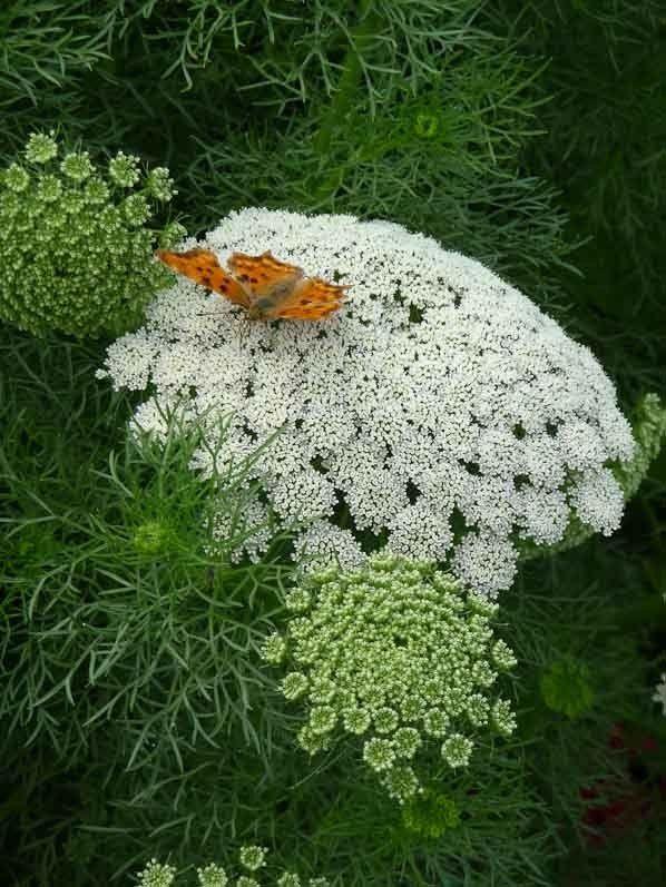 Ammi visnaga et papillon Robert-le-diable dans le Parc Floral de Paris. Queen annes lace butterfly tattoo idea  http://www.pariscotejardin.fr/2014/08/ammi-au-papillon/