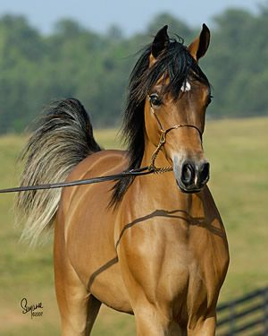 Talaria Farms - Arabian Horse...literally the most gorgeous horses on earth