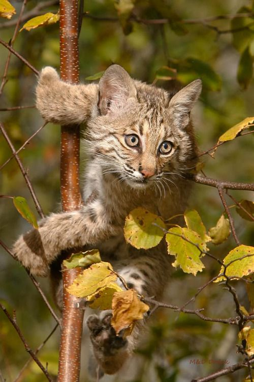 A Young Bobcat ~ In A Tree. (Photo By: Mike Dodak.)