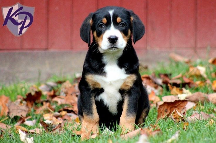 Greater Swiss Mountain Dog puppies for sale in PA! Browse our Greater Swiss Mountain Dog puppies provided by certified Greater Swiss Mountain Dog breeders in PA. Find Greater Swiss Mountain Dog for sale today!