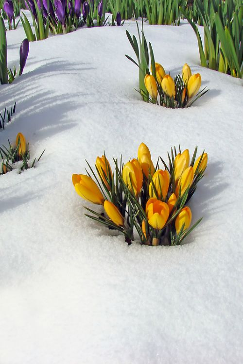 50 best flowers in snow images on pinterest snow winter and blossoms flowers in the snow crocus are natures spring wake up call mightylinksfo