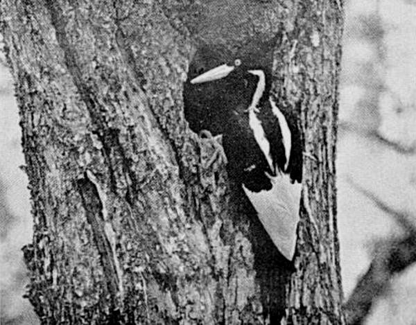 a female ivory billed woodpecker returning to her nest photographed in 1935
