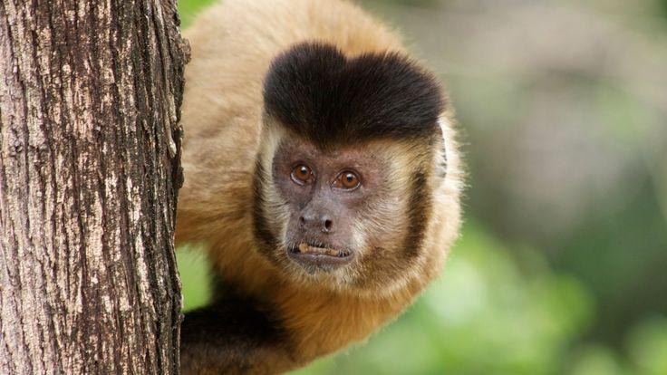 Novo estudo revela que macacos-prego brasileiros quebram frutos com a ajuda de pedras e calculam a força necessária para a tarefa.