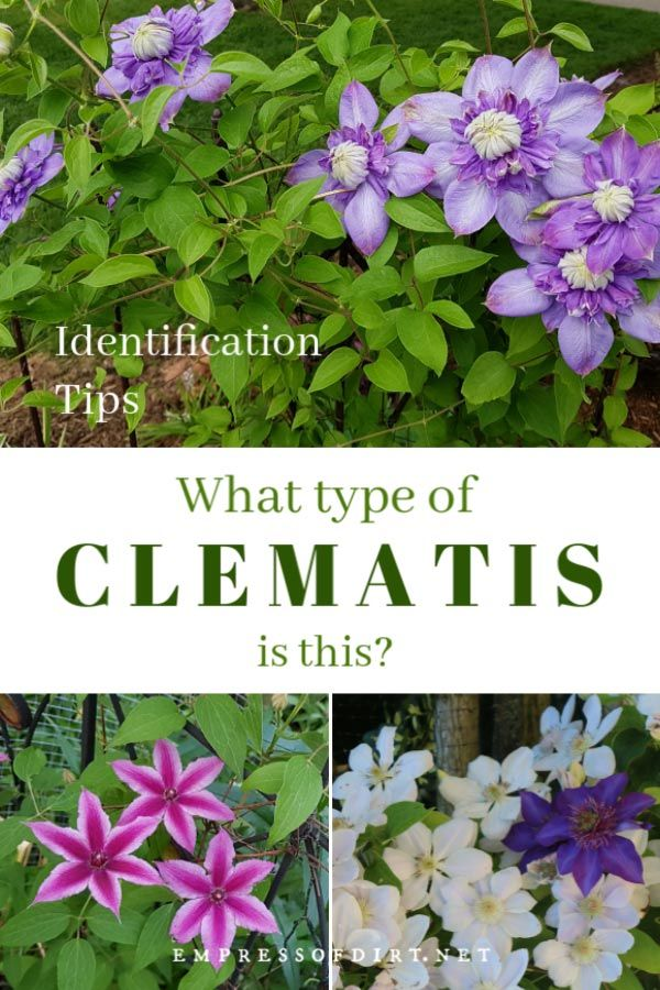 Types Of Clematis How To Identify Yours Empress Of Dirt Clematis Plants Clematis Flower Garden Vines