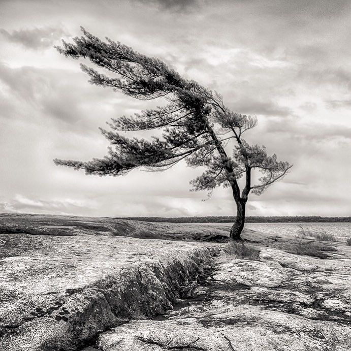 Happy Sunday Morning Folks!  One of the most recognizable trees in all of #Ontario Canada.  This wind swept pine sits on the eastern shores of #GeorgianBay in #killbearprovincialpark. The years of constant abuse from pounding west / north west winds has driven the tree to grow in this unique fashion.  It portrays a sense of #strength #resilience and willingness to survive.  I think most of us could learn a lot from this beautiful specimen.  The image is Order # 422 and can be found in my…