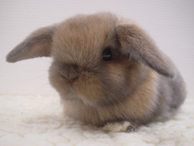 Soft, soft, soft: Bunnies Awwwh, Fluffy Bunnies, Cute Baby Bunnies, Lop Bunnies, Baby Buns, Baby Animal, Bunnies Create, Buns Buns, Bunnies Rabbit