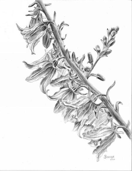 Campanula graphite by Brenda Hill
