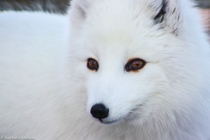 Arctic Fox by Stéphanie Masson on 500px - A curious arctic fox with beautiful eyes.