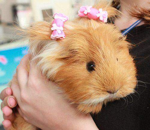 guinea pig hair bows - Too cute!!!
