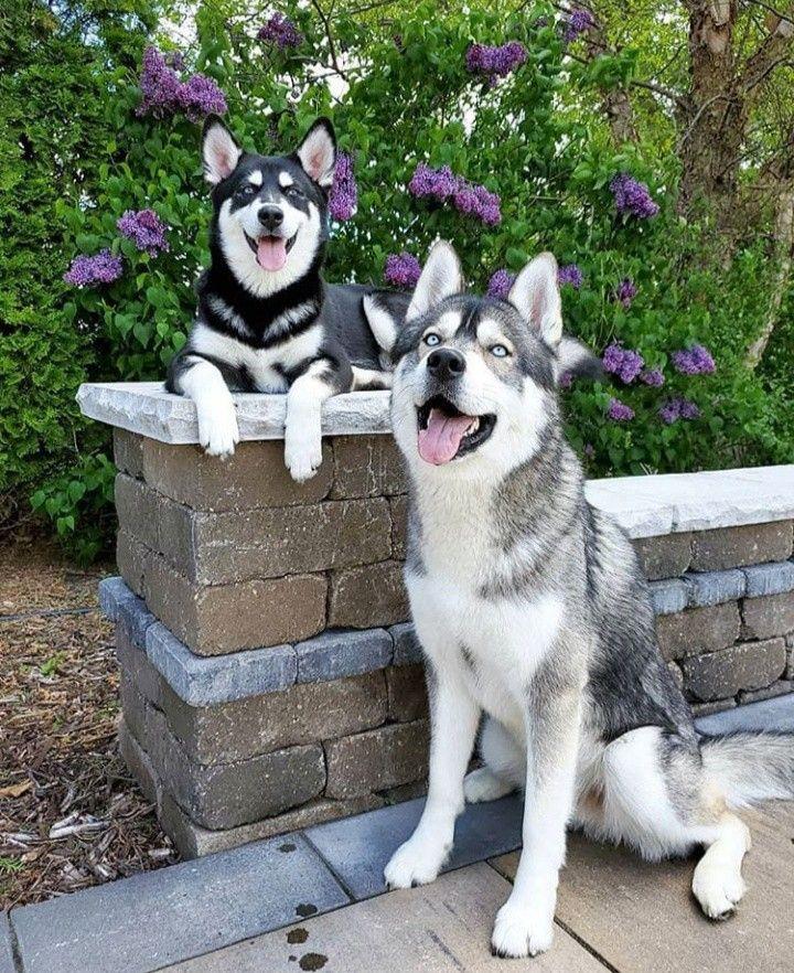 Siberian Husky Training Tips Advice Husky Cute Dogs Siberian